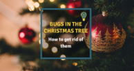 Bugs in the Christmas tree: How to get rid of them